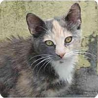 Adopt A Pet :: Tabby - Fort Lauderdale, FL
