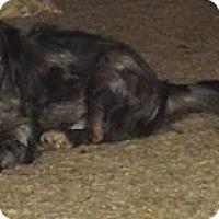 Adopt A Pet :: Callie - Salem, NH