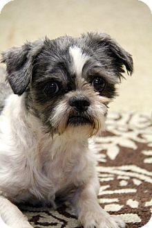 Shih Tzu Dog for adoption in Brookhaven, New York - Damien
