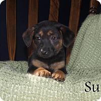 Adopt A Pet :: Suri - Southington, CT