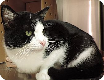 Domestic Shorthair Cat for adoption in Sioux City, Iowa - BENNINGTON