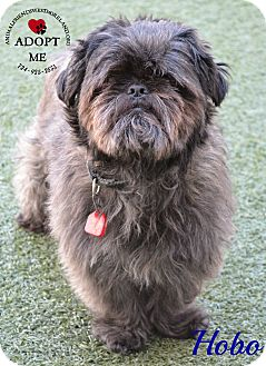 Affenpinscher Mix Dog for adoption in Youngwood, Pennsylvania - Hobo