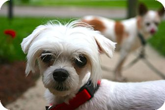 Maltese Mix Dog for adoption in Fort Wayne, Indiana - Courtney Love