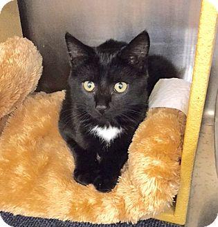 Domestic Shorthair Kitten for adoption in Colmar, Pennsylvania - Francois