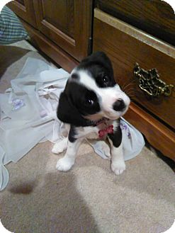 Beagle Mix Puppy for adoption in Salamanca, New York - Sadie