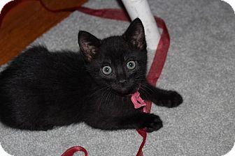 Domestic Shorthair Kitten for adoption in Rocklin, California - Diablo