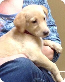 Labrador Retriever Mix Puppy for adoption in Palatine, Illinois - Snowflake