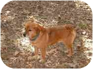 Beagle/Chow Chow Mix Dog for adoption in Gloucester, Virginia - Fergie
