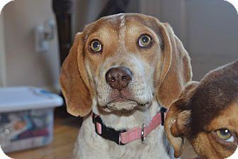 Beagle Mix Dog for adoption in Milwaukee, Wisconsin - DELTA