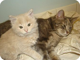 Domestic Shorthair Kitten for adoption in Orland Park, Illinois - Mylie & Dolly (Bonded)