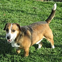 Beagle/Jack Russell Terrier Mix Dog for adoption in Liberty Center, Ohio - Buster