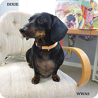 Dachshund Dog for adoption in Washington, Georgia - Dixie