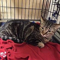Domestic Shorthair Cat for adoption in Oviedo, Florida - Sierra