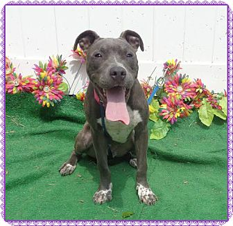 Pit Bull Terrier Mix Dog for adoption in Marietta, Georgia - SWEETIE - reclaimed