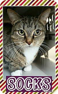 Domestic Shorthair Cat for adoption in Edwards AFB, California - Socks