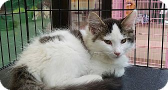 Domestic Mediumhair Kitten for adoption in Elyria, Ohio - Calvin