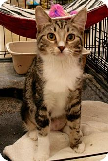 Domestic Shorthair Cat for adoption in Sacramento, California - Jaqueline