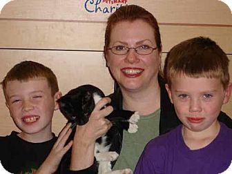 Domestic Shorthair Cat for adoption in Garland, Texas - Azucar