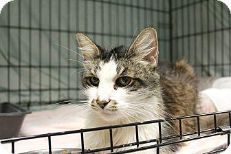 Domestic Mediumhair Cat for adoption in Warwick, Rhode Island - Bran Stark
