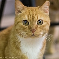 Adopt A Pet :: MARMALADE - Houston, TX