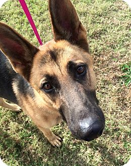 German Shepherd Dog Mix Dog for adoption in Portland, Maine - Luca (Cat Tolerant)