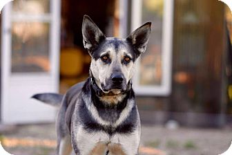 Shepherd (Unknown Type) Mix Dog for adoption in Roslyn, Washington - Duke
