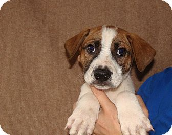 German Shorthaired Pointer/Australian Cattle Dog Mix Puppy for adoption in Oviedo, Florida - Cooper