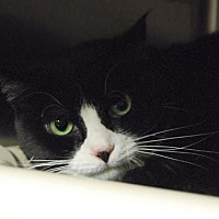 Domestic Shorthair Cat for adoption in Woodland Park, New Jersey - Bella Kitty