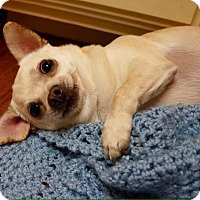Adopt A Pet :: Sweet Roll - AUSTIN, TX