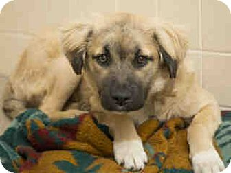Golden Retriever/Field Spaniel Mix Puppy for adoption in Litchfield Park, Arizona - ON EUTHANASIA LIST! Only $35!!