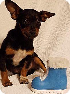 Dachshund Mix Puppy for adoption in Newark, Delaware - Shelton