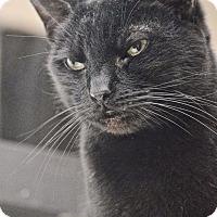 Adopt A Pet :: Miss Gray - Brooklyn, NY