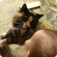 Calico Cat for adoption in Wasilla, Alaska - Olivia