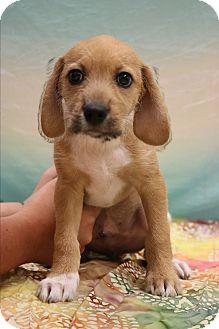 Dachshund/Beagle Mix Puppy for adoption in Staunton, Virginia - Brownie