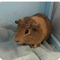 Adopt A Pet :: *Urgent* Fabio - Fullerton, CA