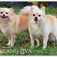 Adopt A Pet :: Abby and Ziva - DeForest, WI