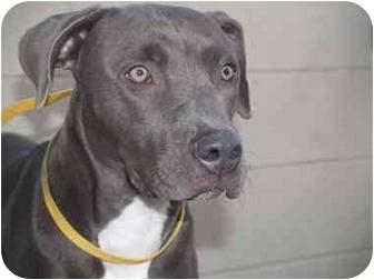 Weimaraner/Pit Bull Terrier Mix Dog for adoption in El Cajon, California - Heather