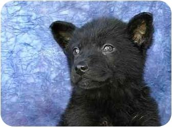 German Shepherd Dog Mix Puppy for adoption in Ladysmith, Wisconsin - D0316