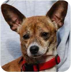 Chihuahua Mix Dog for adoption in Vineland, New Jersey - Monono