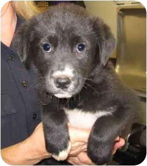 Border Collie/Labrador Retriever Mix Puppy for adoption in Stillwater, Oklahoma - Loyola