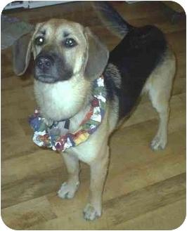 German Shepherd Dog/Beagle Mix Dog for adoption in cedar grove, Indiana - Stella