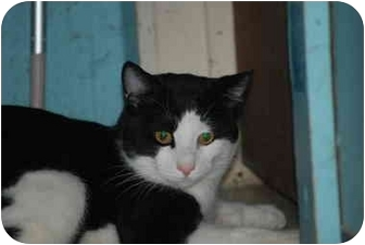 Hemingway/Polydactyl Cat for adoption in Putnam Valley, New York - Tony Toes