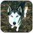 Photo 1 - Siberian Husky Dog for adoption in Various Locations, Indiana - KIRA