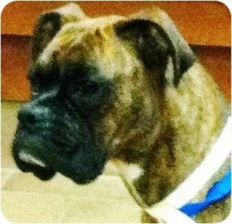 Boxer Dog for adoption in Oswego, Illinois - I'M ADOPTED Brie Serdynski