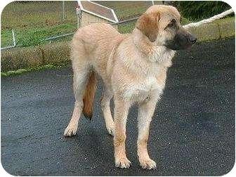 German Shepherd Dog/Golden Retriever Mix Dog for adoption in Florence, Oregon - Timber