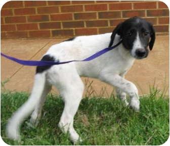 Border Collie/Rat Terrier Mix Puppy for adoption in Stillwater, Oklahoma - Nila