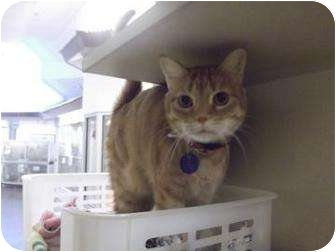 Domestic Shorthair Cat for adoption in North Charleston, South Carolina - Scamp