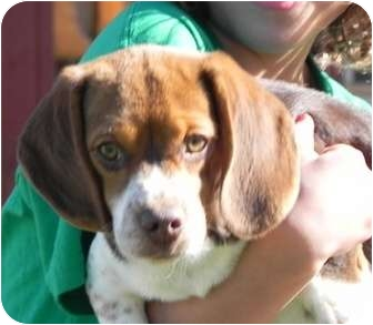 Beagle Mix Puppy for adoption in Spring Valley, New York - Isabella
