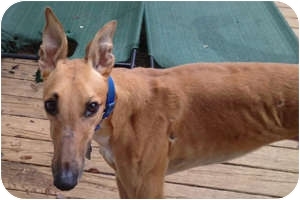Greyhound Dog for adoption in Pearl River, Louisiana - Hugo