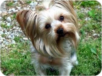 Yorkie, Yorkshire Terrier Dog for adoption in Kokomo, Indiana - Soxx